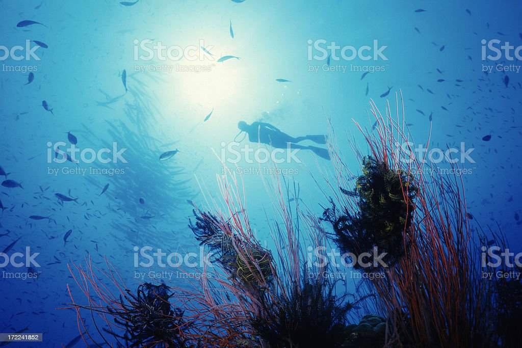 Magical Red Whip Reef royalty-free stock photo