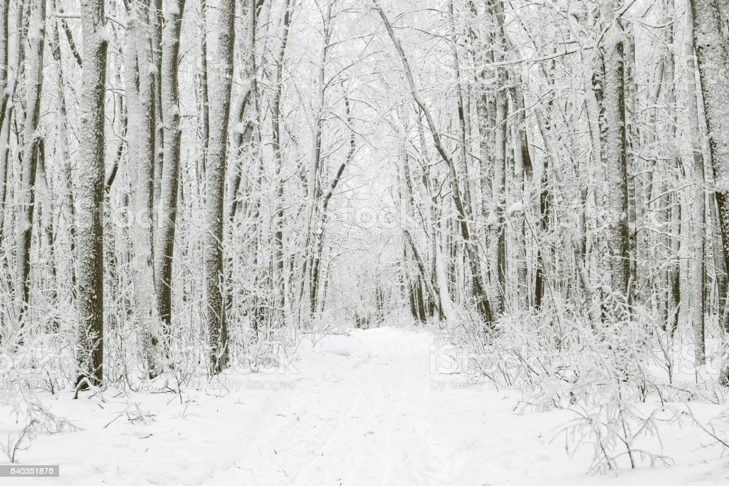 Magical winter forest during a snowfall. Camping. Picturesque nature. stock photo