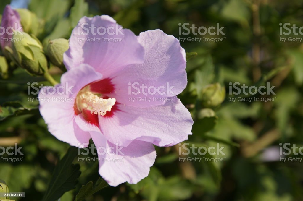 Magically beautiful, delicate, pink flower mallow closeup. stock photo