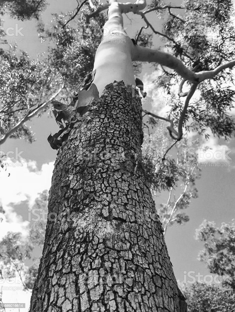 Magnificant eucalyptus tree stock photo