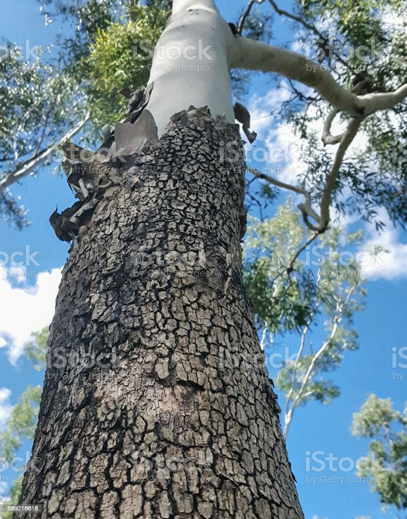 Magnificant eucalyptus tree stock photo