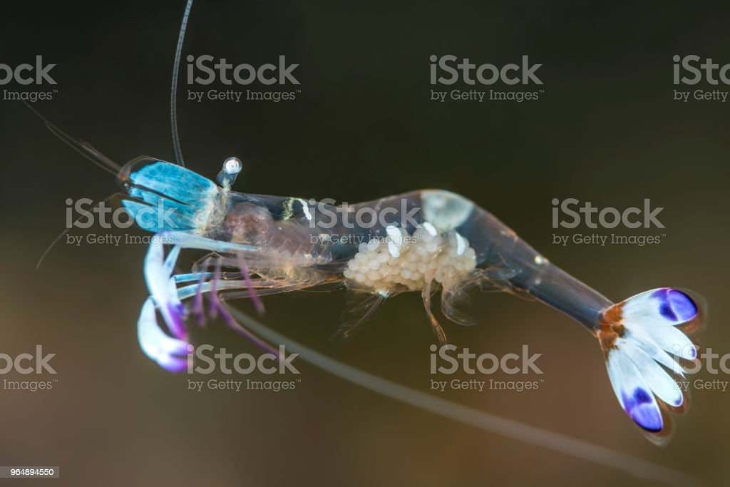 Magnificent Anemone Shrimp with eggs royalty-free stock photo