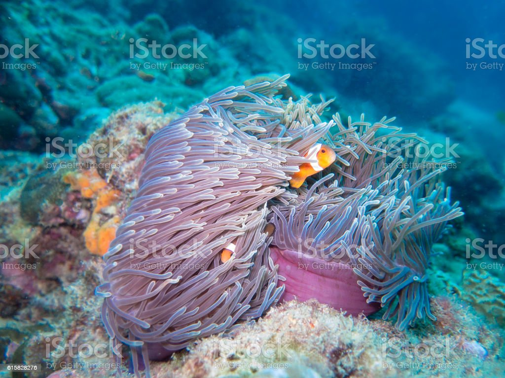 Magnificent Anemone Symbiotic Relationship Clown Fish Ecosystem stock photo