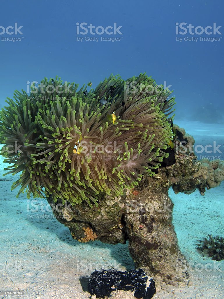 Magnificent Anemone with Anemonefish stock photo