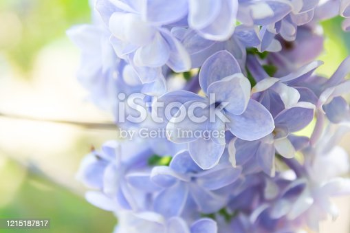 Magnificent closeup of a fragrant periwinkle or lavender California Lilac