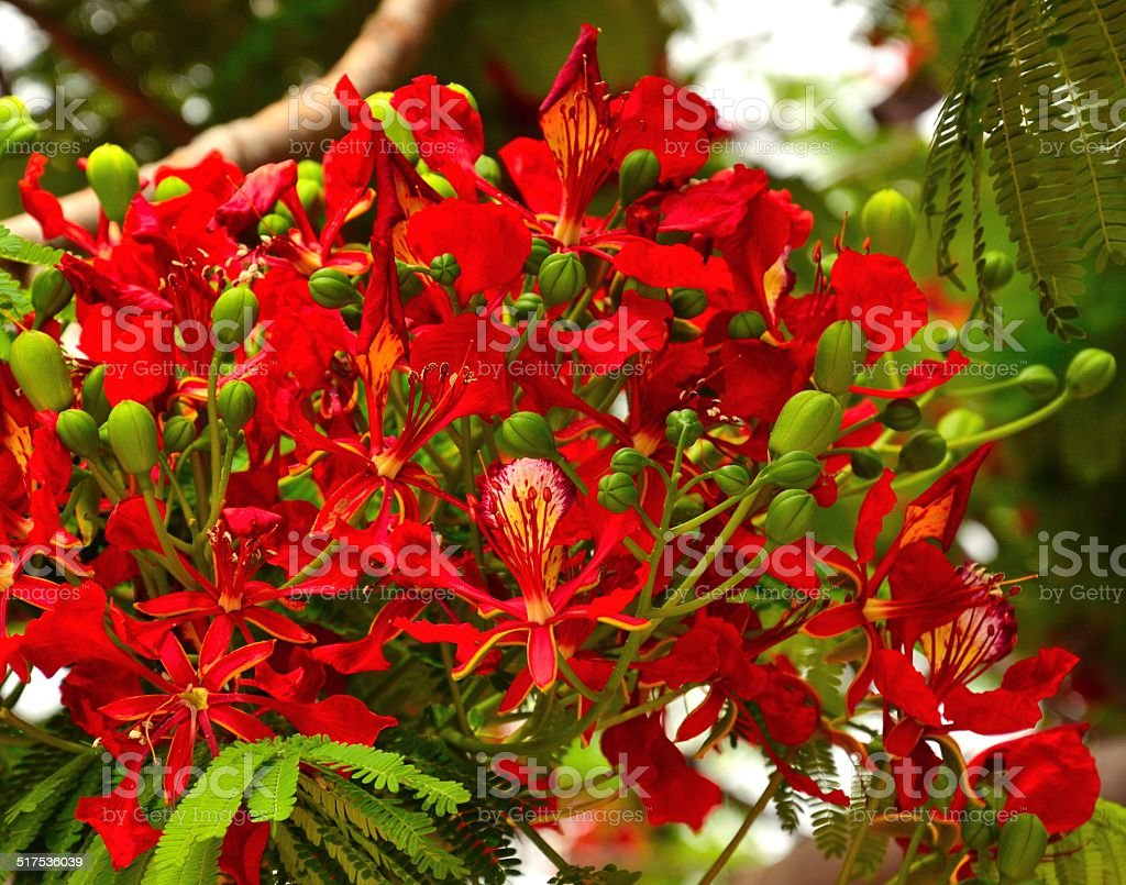 Magnificent Cluster With Floral Buds And Beautiful Flowers Of