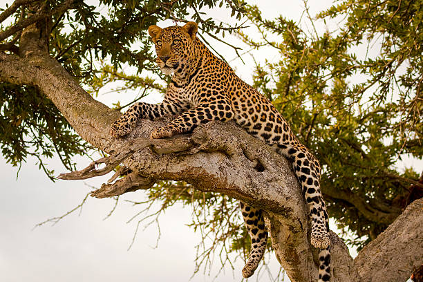 Magnificent female leopard lying on branch Magnificent female leopard lying on tree branch gazing in the distance in Kenya's Masai Mara National Park masai mara national reserve stock pictures, royalty-free photos & images