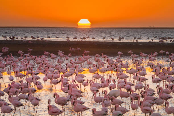 Magnificent flamingos in Namibia stock photo