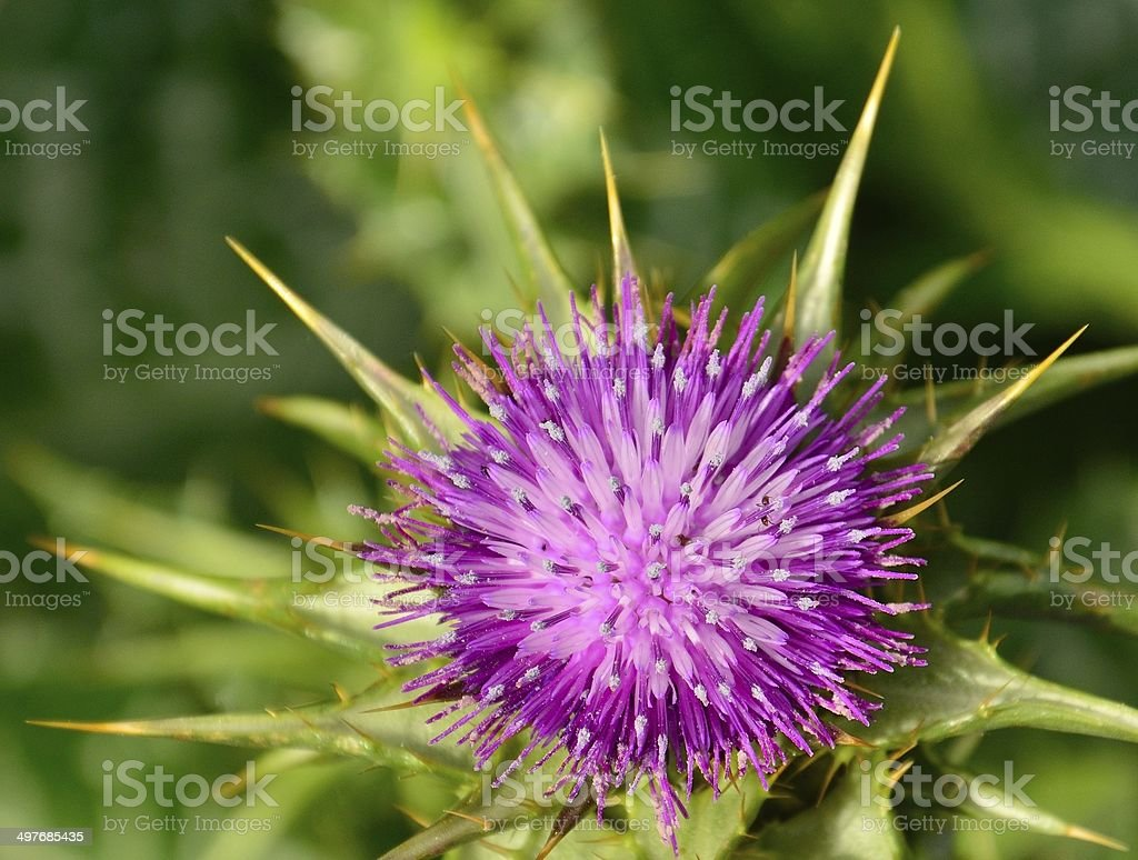 Magnificent flower of milk thistle in all its splendor stock photo