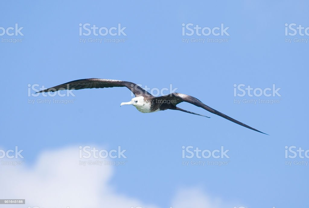 Magnificent Frigate Bird Fregata Magnificens, Mexico 2007 stock photo