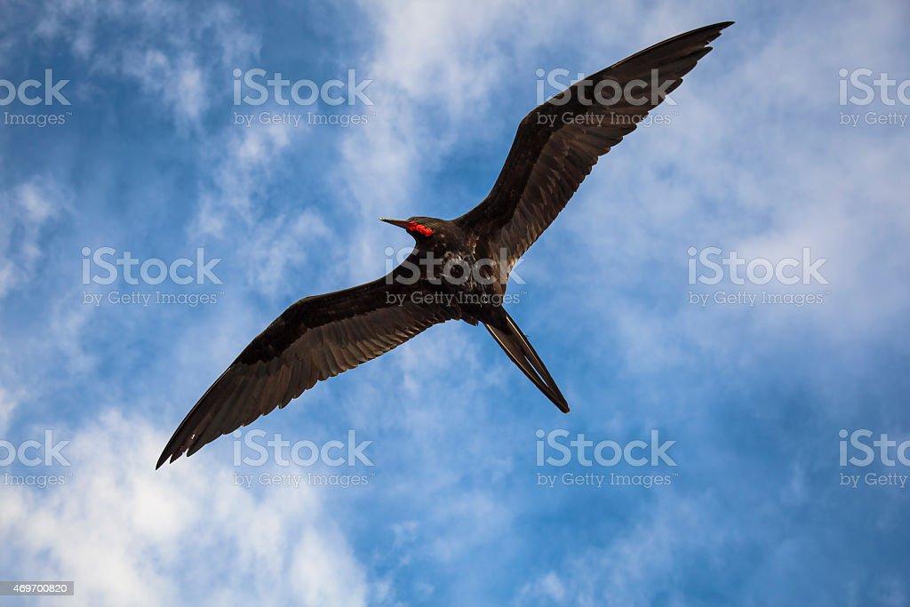 Magnificent frigatebird (Fregata magnificens) flies stock photo