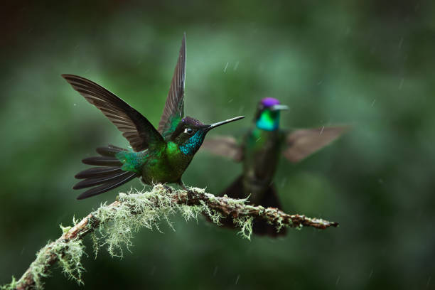 A magnificent hummingbird, Eugenes fulgens, photographed in Costa Rica. Wildlife scene form rain forest. Two hummingbirds sit on a branch stock photo