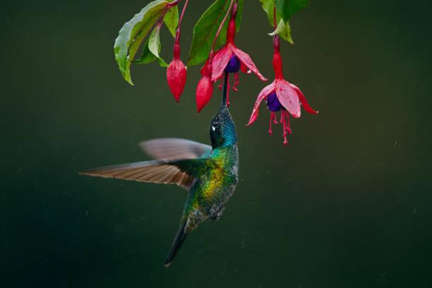 A magnificent hummingbird, Eugenes fulgens, photographed in Costa Rica. Wildlife scene form rain forest. Hummingbird suck nectar from Fuchsia. stock photo