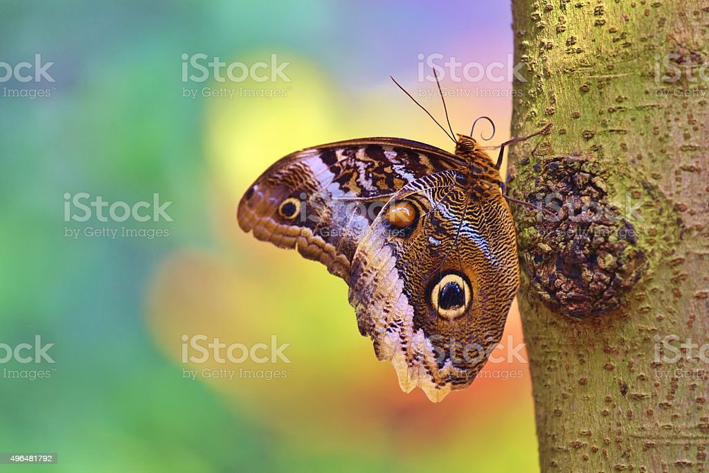 Magnificent Owl Butterfly in Bright Background stock photo