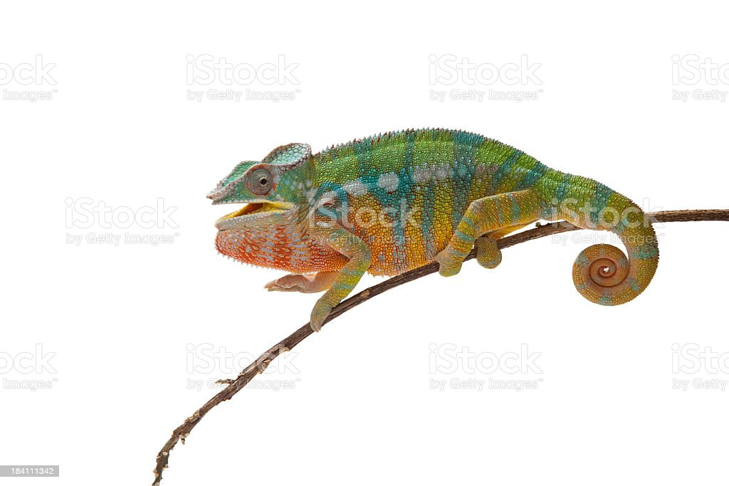 Magnificent Panther Chameleon on a branch isolated on white stock photo