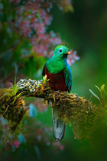 Magnificent sacred green and red bird. Birdwatching in jungle. Beautiful bird in nature tropic habitat. Resplendent Quetzal, Pharomachrus mocinno, Guatemala, with green forest background. Flowers. stock photo