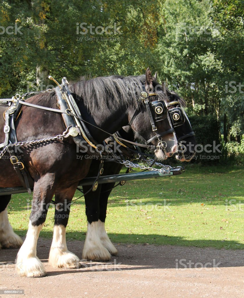 Magnificent Shire Horses. stock photo