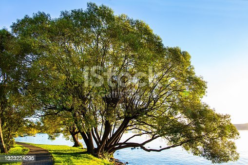 istock Magnificent sprawling tree by the lake 1323224295