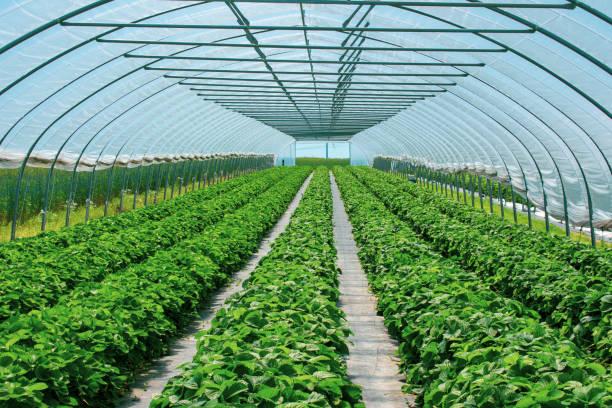 Prachtvolle Erdbeerpflanzen im Erdbeertunnel vor geschütztem Anbau. – Foto