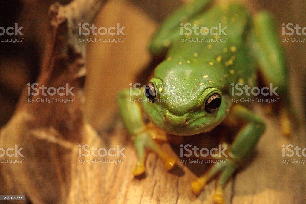 Magnificent tree frog Litoria splendida stock photo