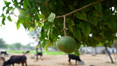 Indian Bael or Marmelos hanging with green tree branch. Natural organic fruit fulfill requirements of vitamin and fiber..