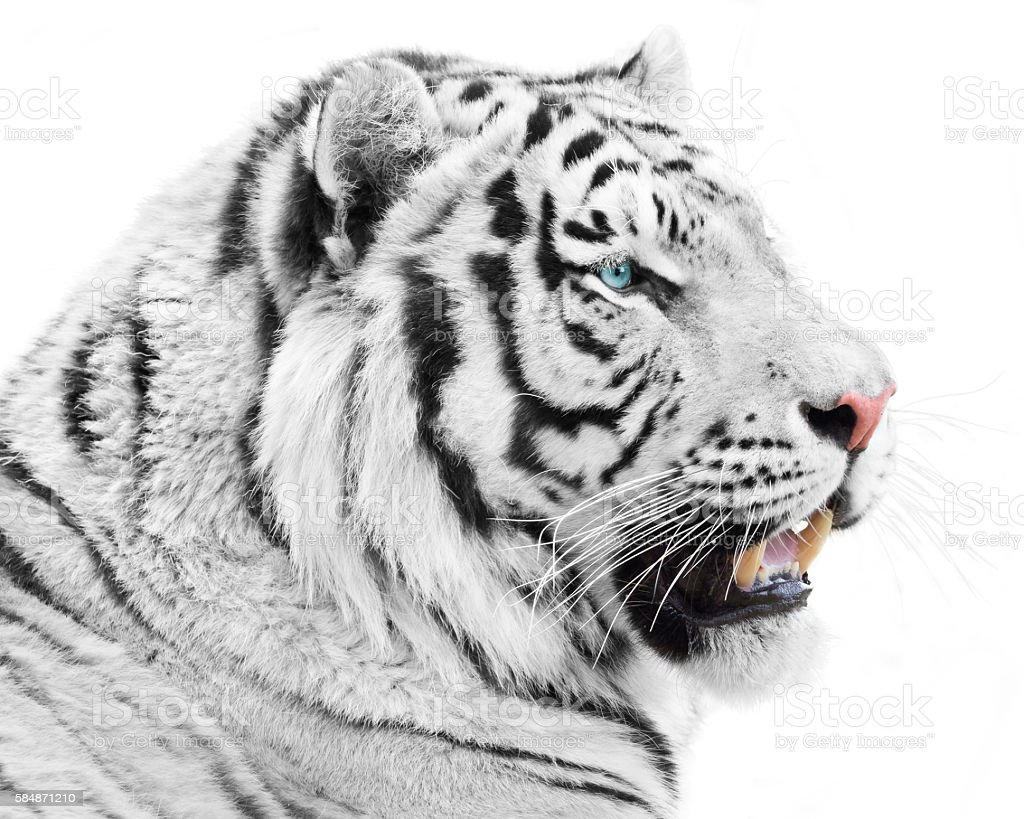 Magnificent white beast stock photo