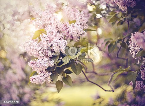 Magnificently blossoming lilac bushes in the spring.