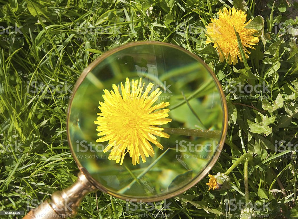Magnifier, induced to flower Dandelion royalty-free stock photo