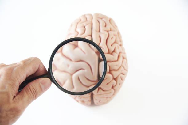 förstoringsglas och hjärnan modell på vit bakgrund - brain magnifying bildbanksfoton och bilder