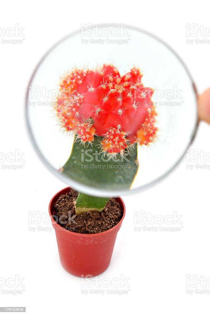 magnifying glass and lollypop cactus stock photo