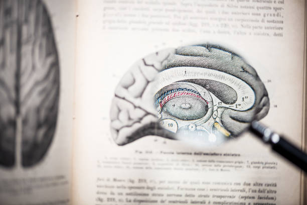 Magnifying glass on antique anatomy book: Brain Magnifying glass on antique anatomy book: Brain cerebellum stock pictures, royalty-free photos & images