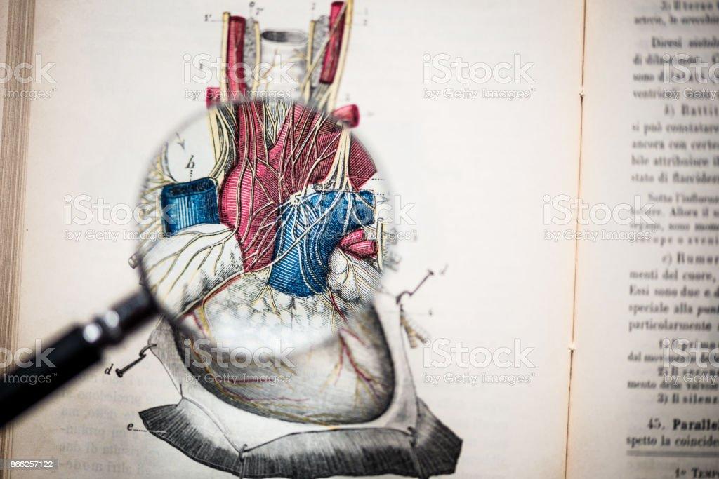 Lupe Auf Antiken Anatomie Buch Herz Stock-Fotografie und mehr Bilder ...