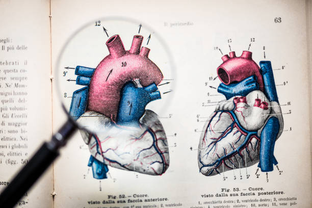 magnifying glass on antique anatomy book: heart - heart internal organ stock photos and pictures