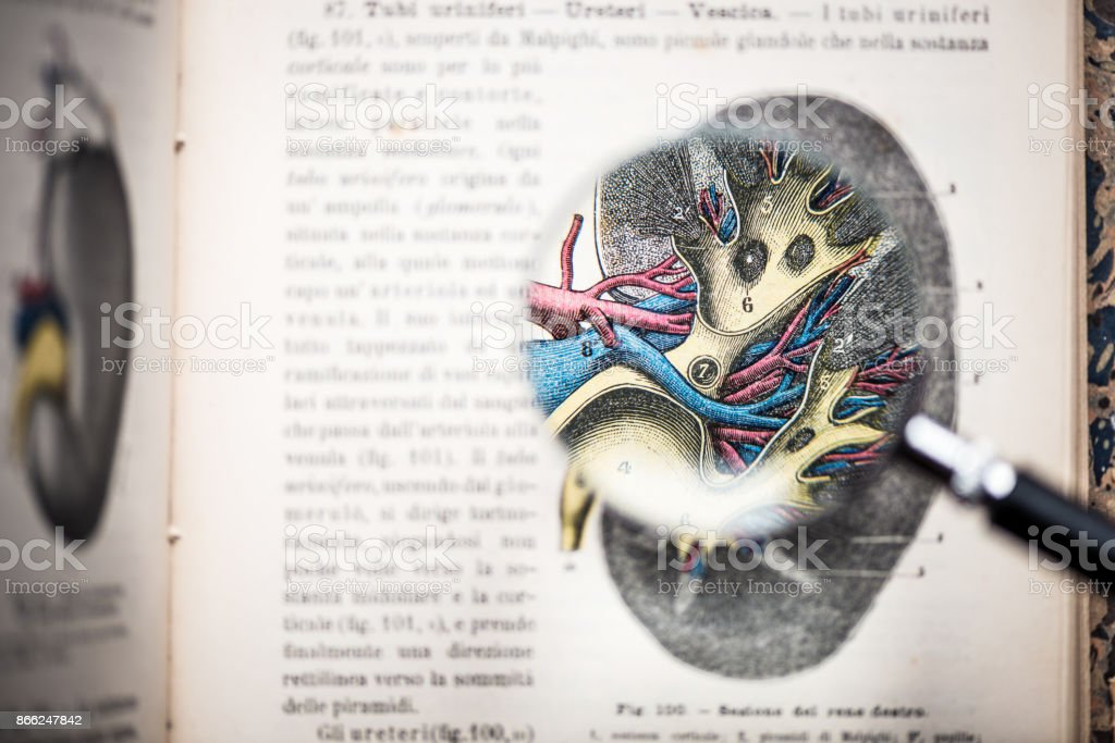 Magnifying glass on antique anatomy book: Kidney stock photo