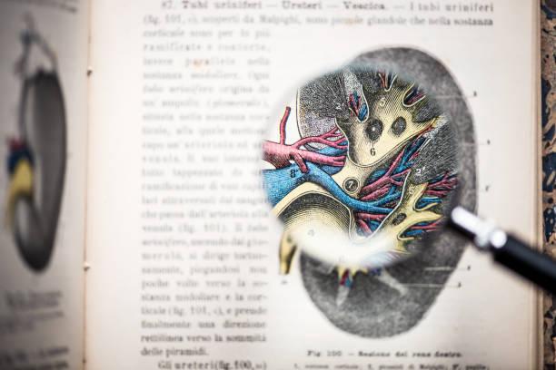 lupe auf antiken anatomie buch: niere - anatomie buch stock-fotos und bilder