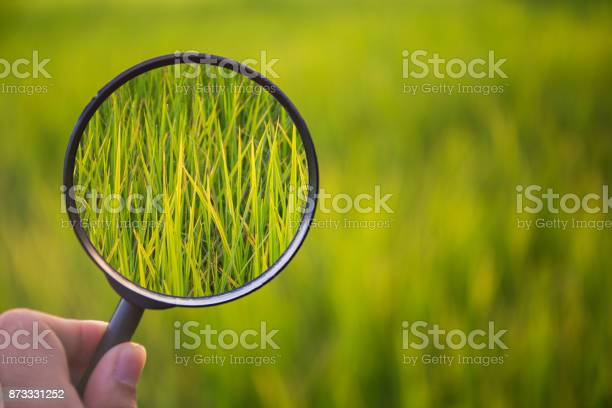Magnifying glass scan green rice on field with blure background picture id873331252?b=1&k=6&m=873331252&s=612x612&h=0ku7ctjobxvjynd5a8ux5dqu91w0qhh0yphe4bebzmm=
