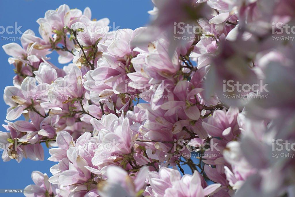 magnolia background royalty-free stock photo