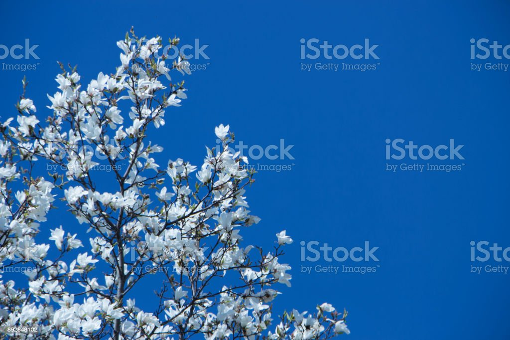 Magnolia blooming in early spring. Tulip tree stock photo