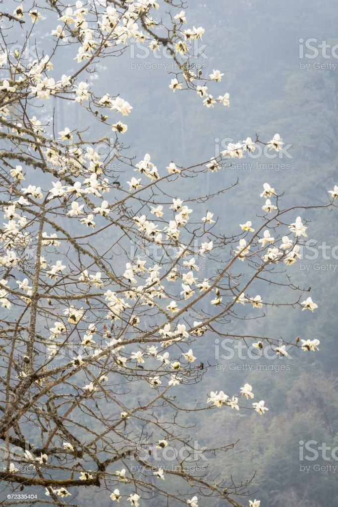 Magnolia Blooming Tree In Bhutan White Flowers Spring Stock