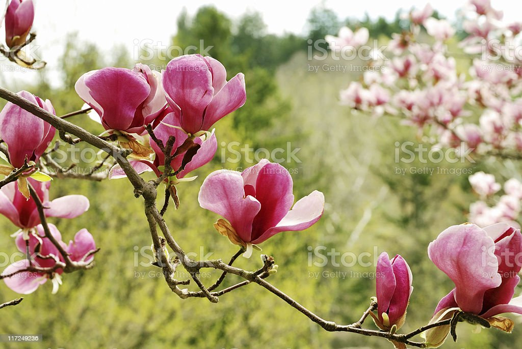 Magnolia blooms royalty-free stock photo