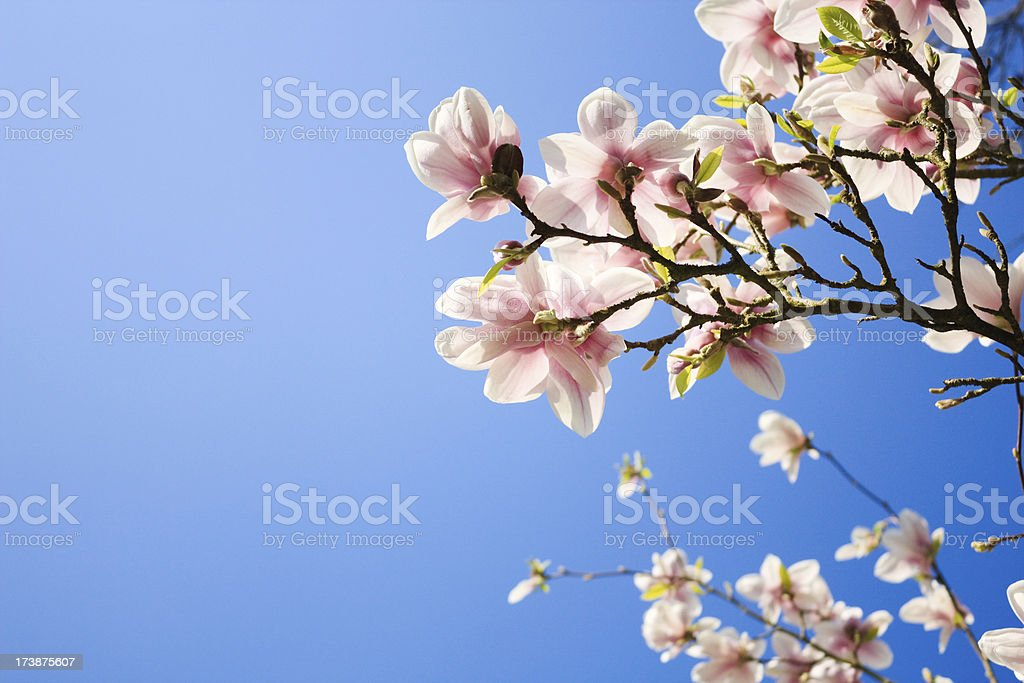 Magnolia blooms with the sky behind royalty-free stock photo