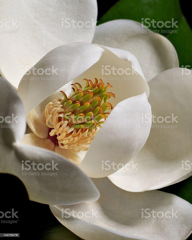 Magnolia Blossom 3 stock photo