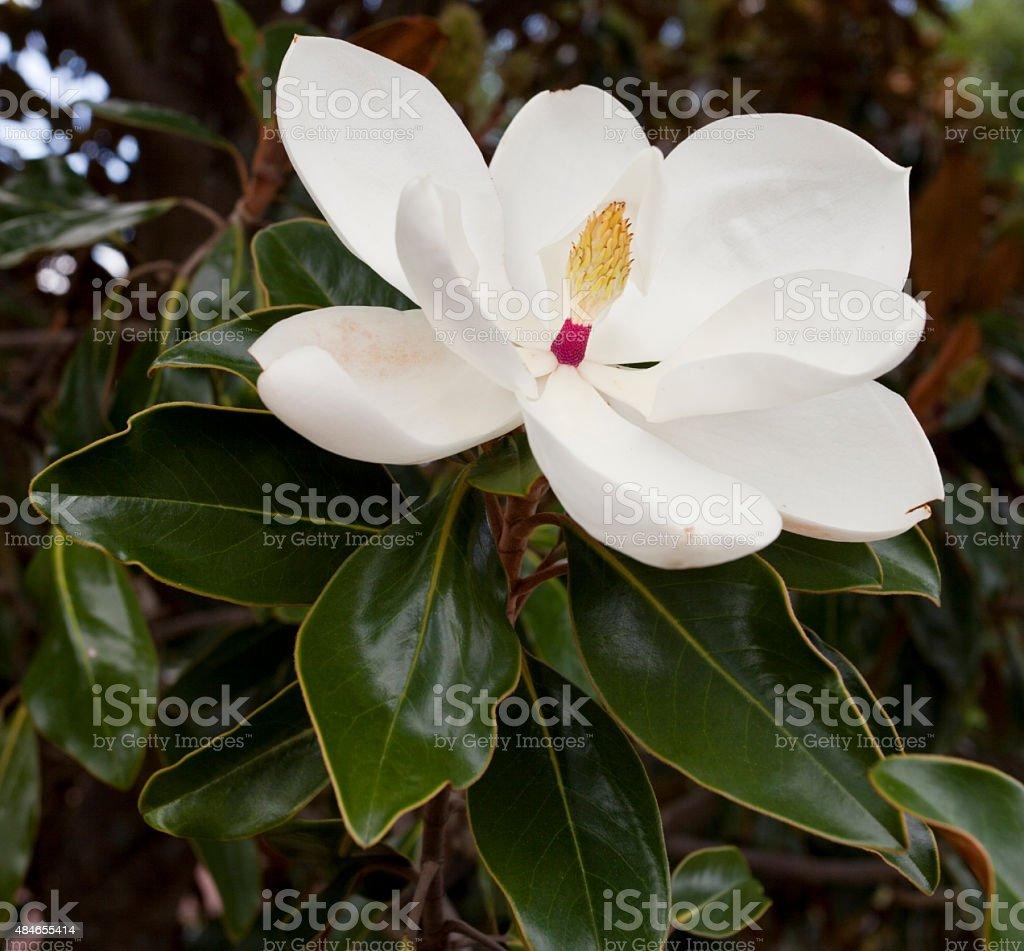 Magnolia Blossom Flower stock photo