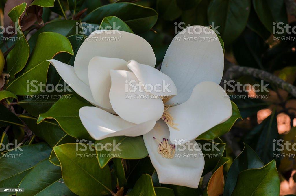Magnolia blossom fully open stock photo