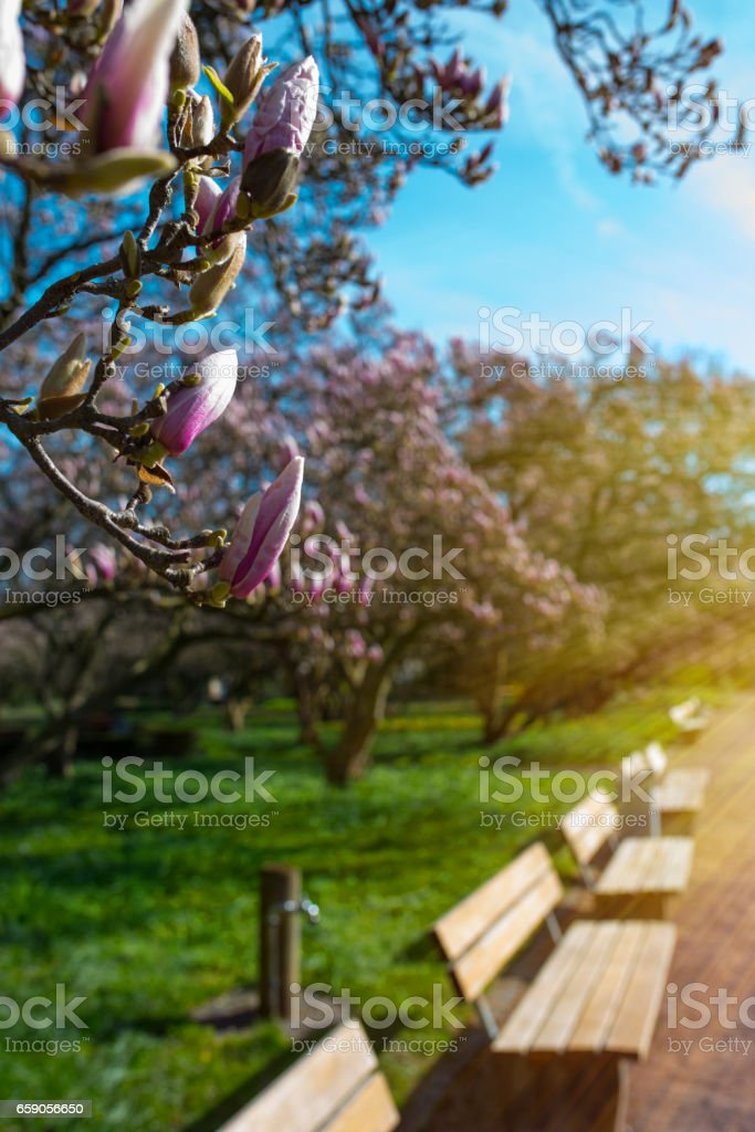 Magnolia blossom in a park stock photo