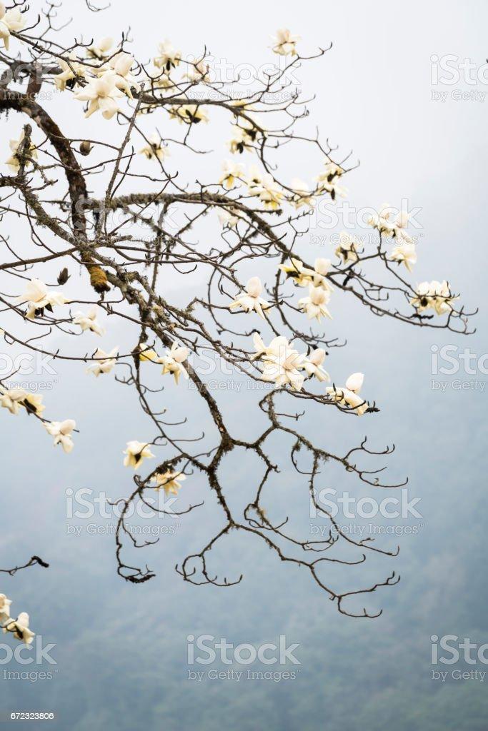 Magnolia Blossom in Bhutan stock photo
