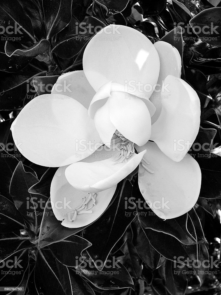 Magnolia blossom in black and white royaltyfri bildbanksbilder