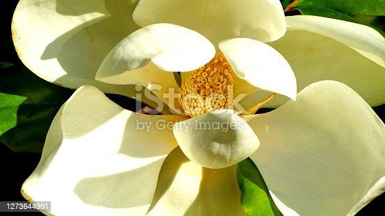 istock Magnolia blossom 1273644951