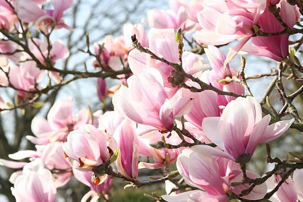 магнолия blossom - magnolia стоковые фото и изображения