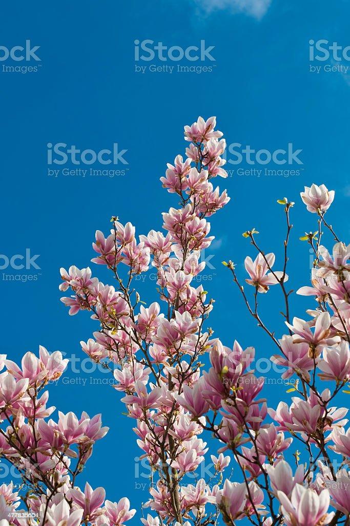 Flor de Magnolia - foto de stock
